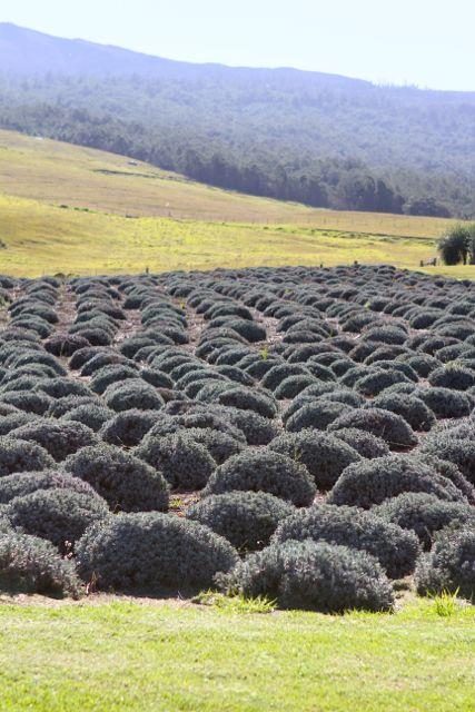 akl-lavender-farm1