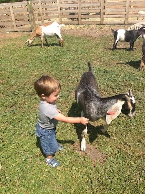 caleb-goat