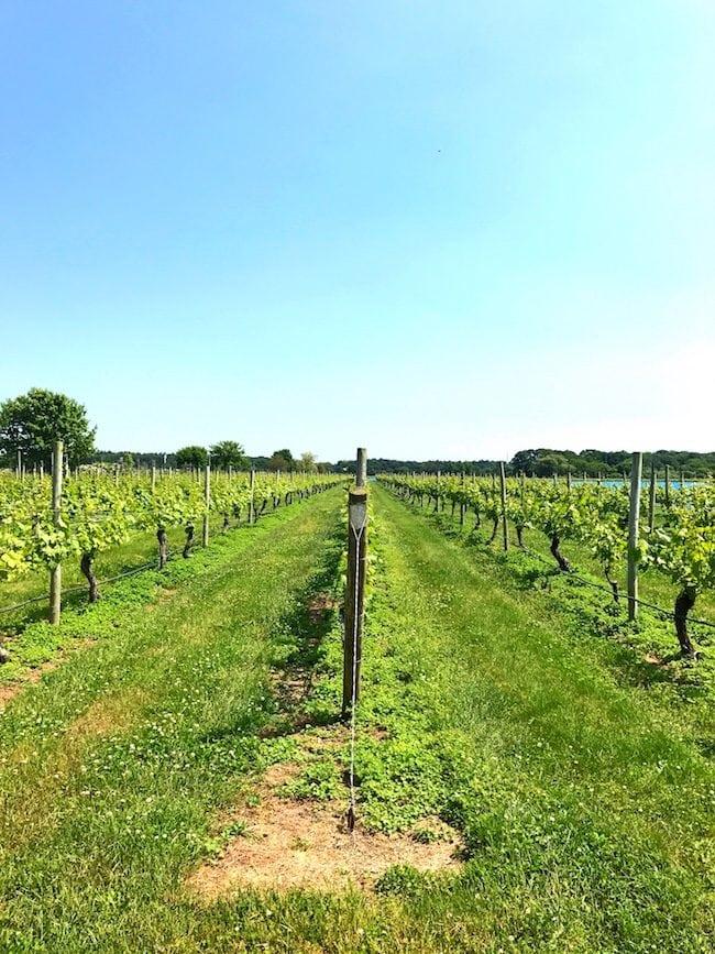 Hamptons vineyard